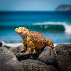 Galapagos land iguana.
