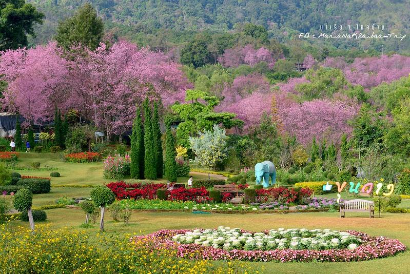Chiang mai Khunwang Doi Inthanon sakura trees park
