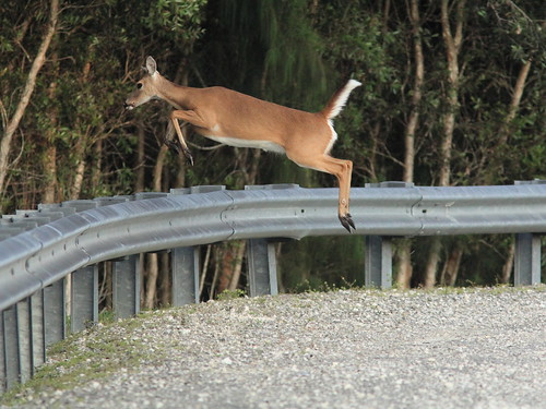 White-tailed doe jumping 04-20150123