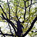 tree GG