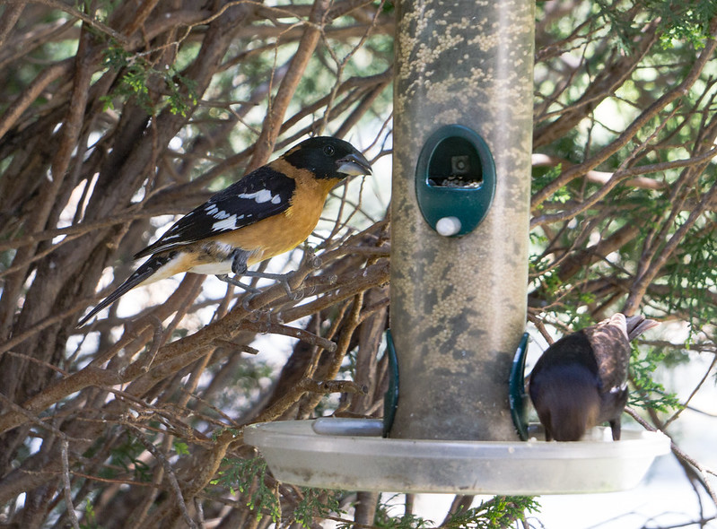 Black Headed Grosbeak 2