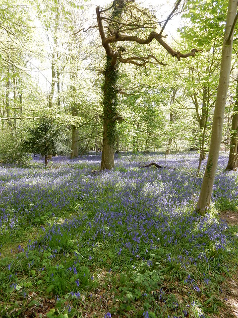 bluebells at Blickling 2016 (6)