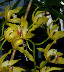 Cymbidium lowianum 'James Drysdale' species orchid 4-16