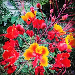 More blooms on one of my Pride of Barbados shrubs. #color #prideofbarbados