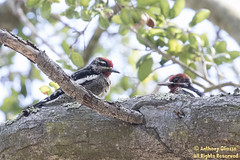 Red-breasted Sapsucker and Red-naped Sapsucker (9511) (Rare-Both for location/season)