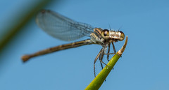 Dusky Dancer Damselfly (Argia translata) 04