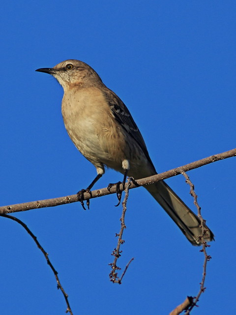 Northern Mockingbird Canon 60D DPP 20141218