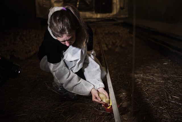 Investigación de Igualdad Animal en granja de cría de patos - Alemania
