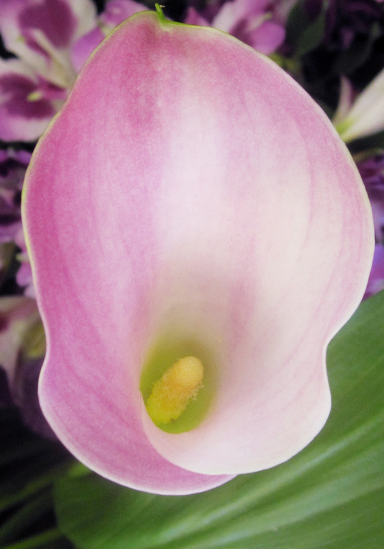 White and Pink Calla Lily