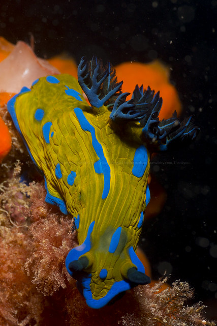 Blue and yellow sea slug (Tamjba verconis)