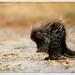American Porcupine by Josh Gahagan