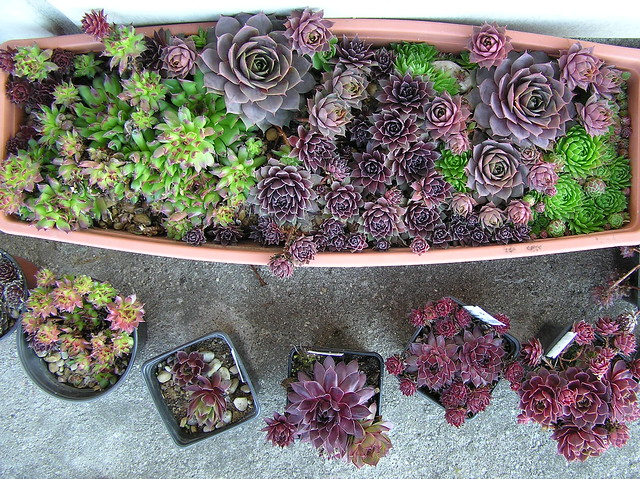 Sempervivums in containers