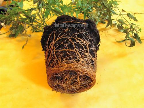 radici che non ci stanno più nel vaso