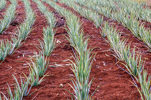 Aloe vera plantation on Curaçao