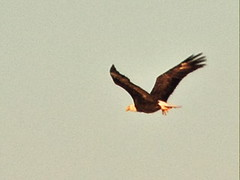 Bald Eagle adult leg down 072301 AM 20141210