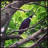 Tui in a tree #tui