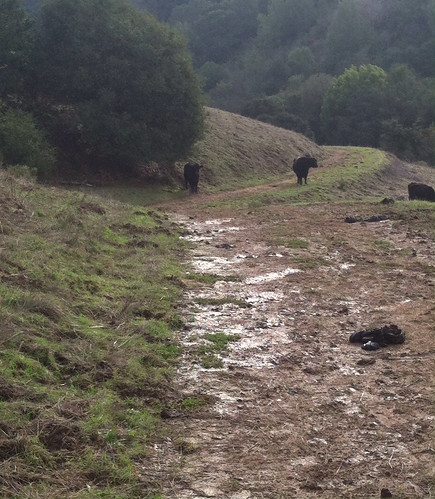 Damn it cattle on the trail