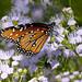 Queen Butterfly (Danaus glippus); Tucson, Arizona, Tohono Chul Park, [Lou Feltz]