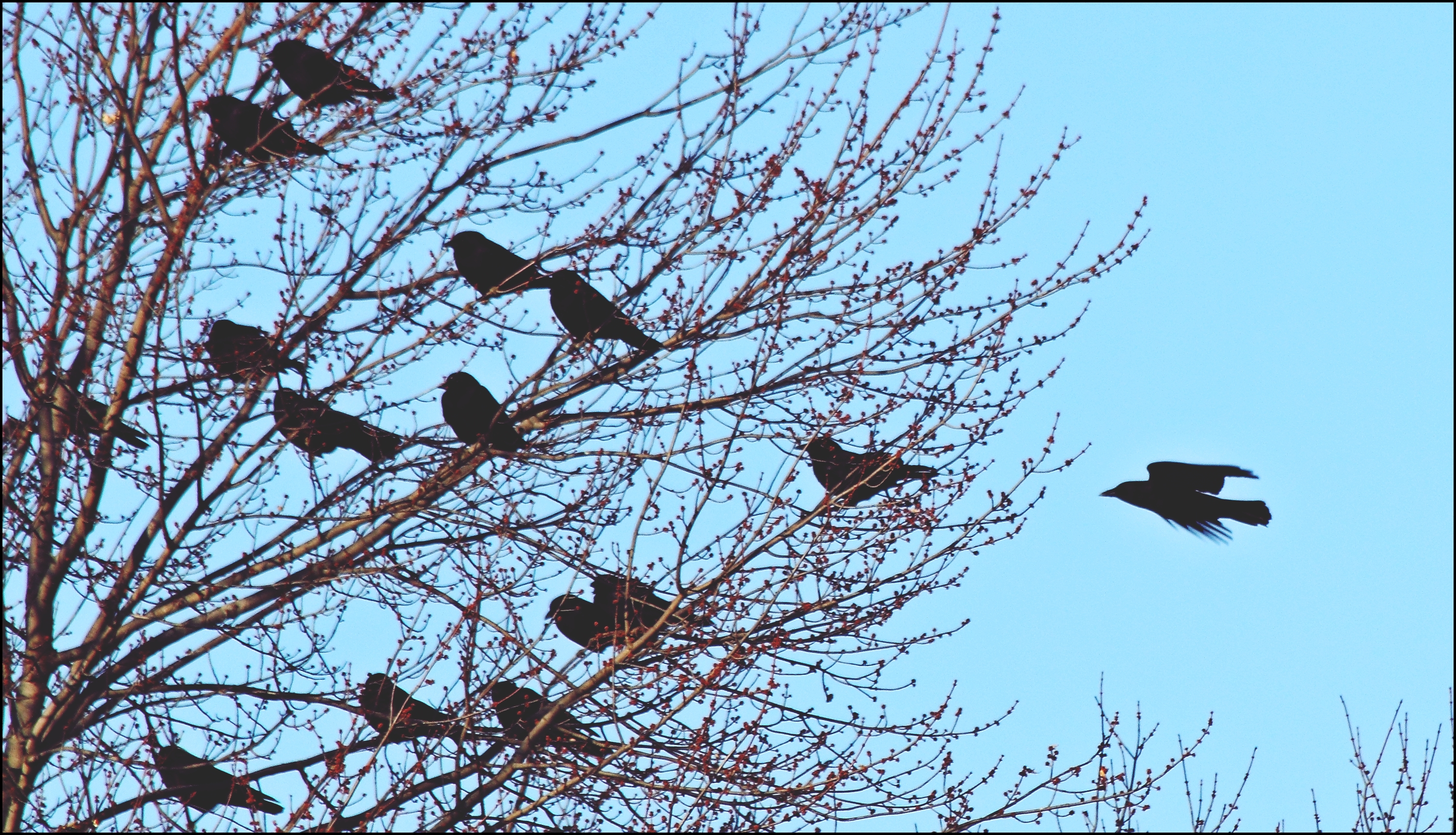 This Is For The Birds. silhouette, canon, ugh, crows, 60d. buy photo