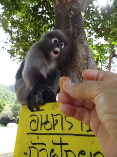 Tasty treat for a Dusky Langur - Thailand