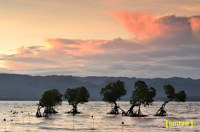 Mangrove Row at Sunset
