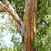 Small photo of Beautiful tree at Wilcannia