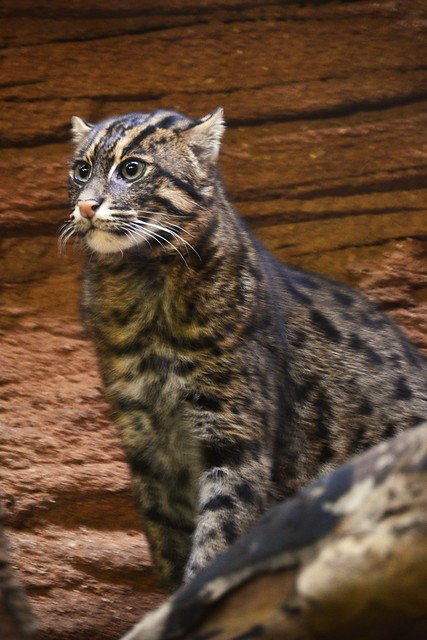Fishing Cat Profile