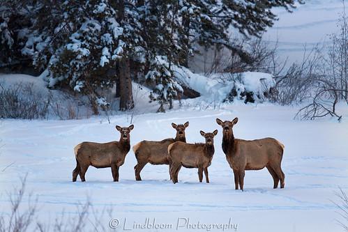 winter snow colorado elk