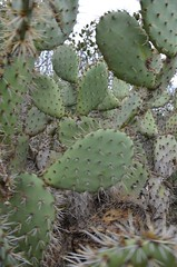 flower(0.0), barbary fig(0.0), acanthocereus tetragonus(0.0), echinopsis pachanoi(0.0), nopal(0.0), plant(1.0), thorns, spines, and prickles(1.0), flora(1.0), produce(1.0), eastern prickly pear(1.0), opuntia(1.0), caryophyllales(1.0),