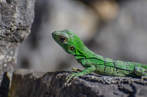 Juvenile Black Spiny-tailed Iguana