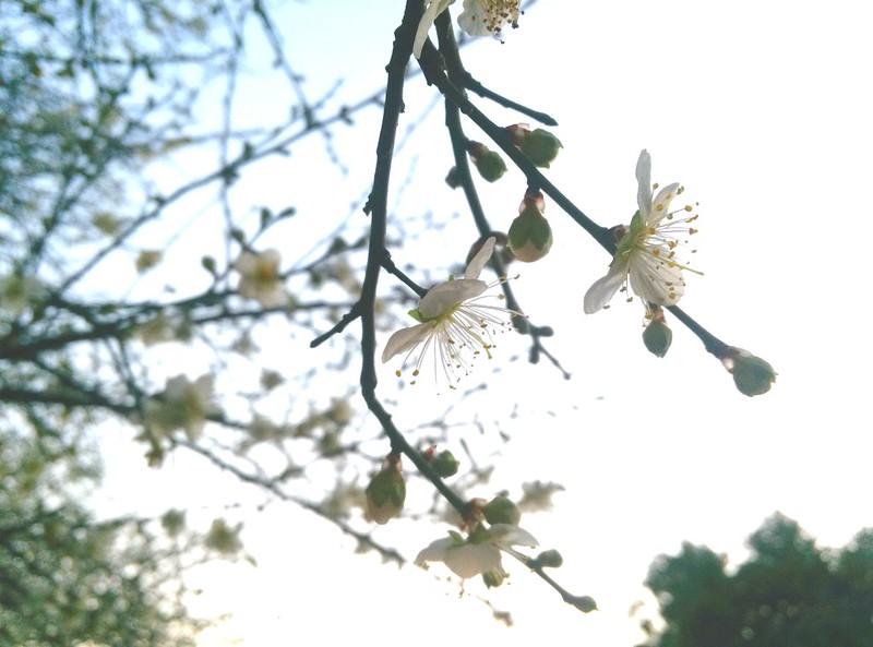 城市中的梅花樹