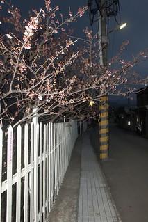 2015 01 17 台北.陽明山.平菁街42巷.霧中.賞夜櫻.寒櫻(後面-50%)