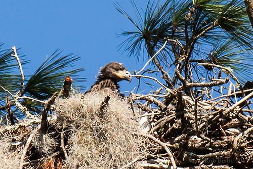 birds eagle florida baldeagle jacksonville blackcreek