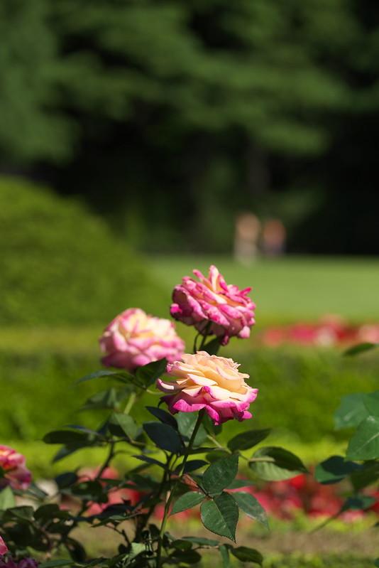 旧古河庭園のバラ 2016年5月5日