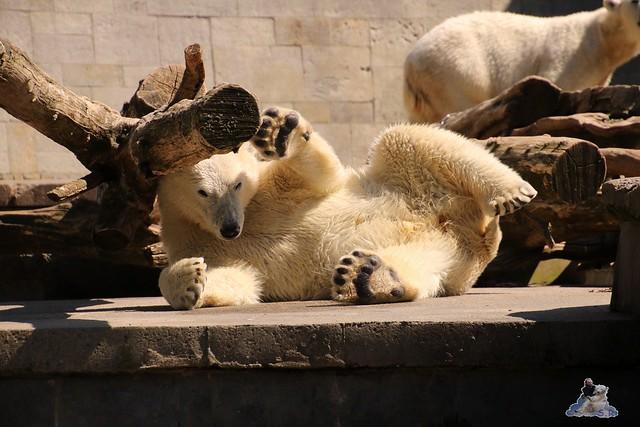 Eisbär Fiete im Zoo Rostock 07.05.2016  0224