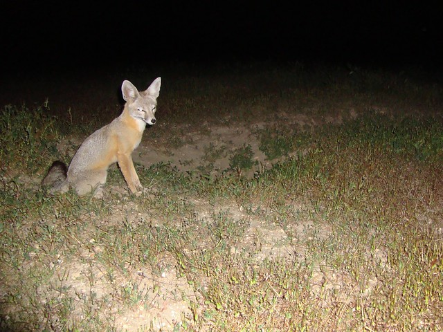 san joaquin kit foxes