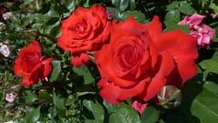 Cranford Rose Garden, Brooklyn Botanic Garden, New York