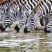 Thirsty Zebras by Yooch