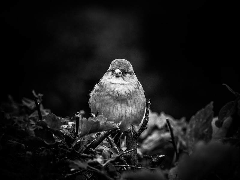 «Sparrow» (black version)