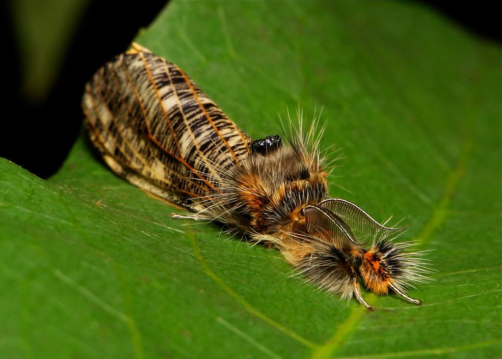 Tussock Moth, male (Locharna strigipennis/limbata, Lymantriinae, Erebidae)