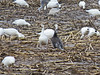 Snow Goose-dark morph 10-29-14
