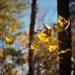 Six Yellow Leaves/Hillsborough