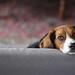 Small photo of Beagle