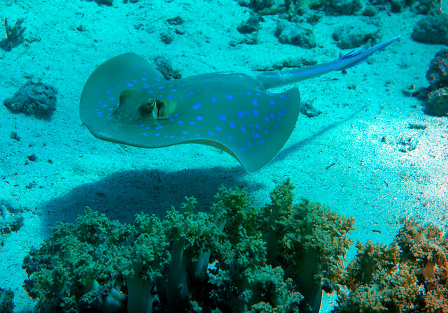 Blue-spotted Ribbontail Ray, Taeniura lymma, Shark Reef, Ras Muhammad, Red Sea