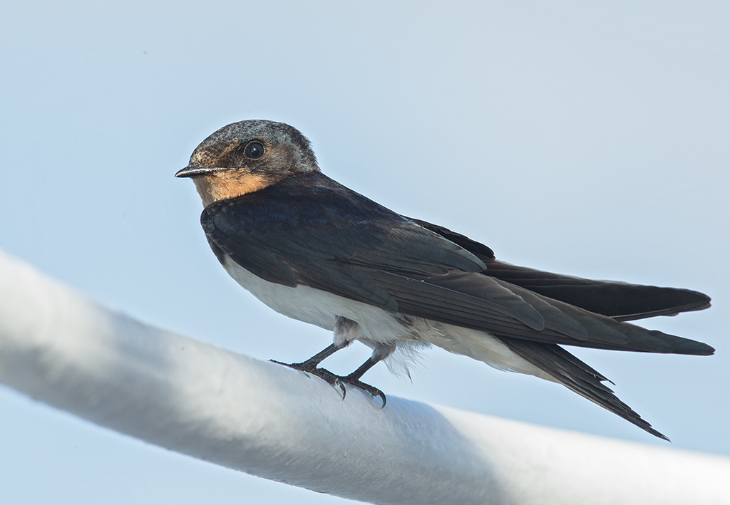 Barn Swallow  2014-11-26