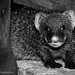 Angry Baby Mongoose