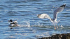 Marie's birds has added a photo to the pool:Gulls should catch their own food - not steal from Mergs  12/15/14