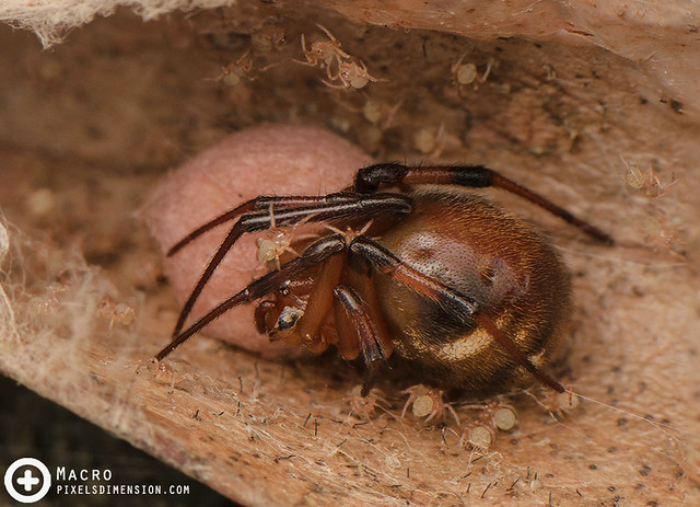 A mother Parasteatoda mundula, egg sac and spiderlings