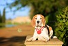 Porthos Beagle | Pet Portrait Photography Wrest Park | Bedfordshire