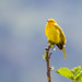 Finches, Seedeaters, Euphonias and Saltators of Brazil
